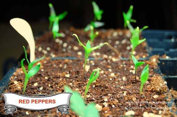 RED PEPPERS 3-29-13