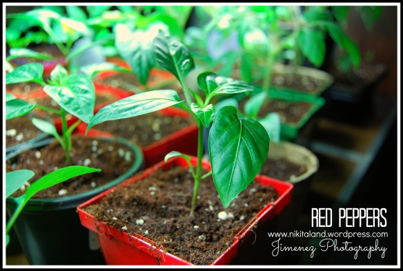 4-20-13 RED PEPPERS