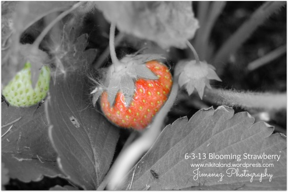 6-3-13 BLOOMING STRAWBERRY