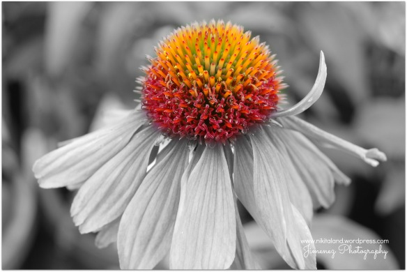 CONE FLOWER BLACK AND WHITE