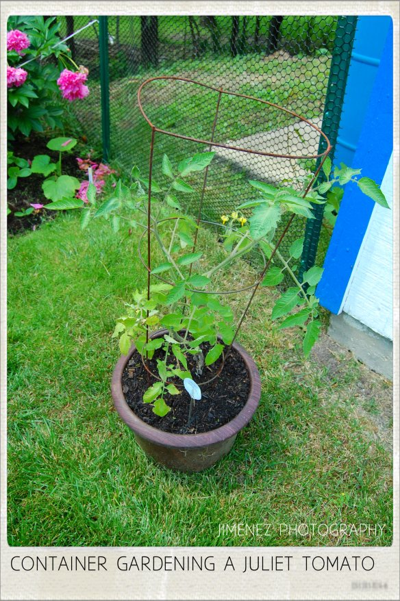 CONTAINER GARDENING A JULIET TOMATO