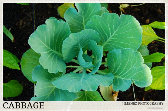 FLAT DUTCH CABBAGE 6-24-13