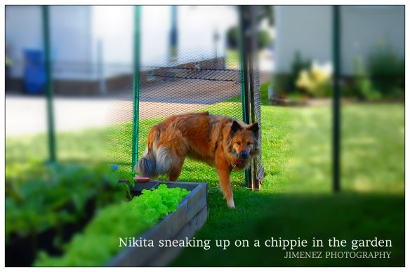 NIKITA SNEAKING UP ON A CHIPPIE IN THE GARDEN