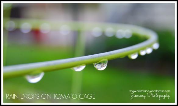 RAIN DROPS ON TOMATO CAGE