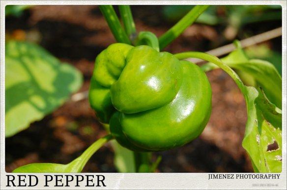 RED PEPPER 6-24-13