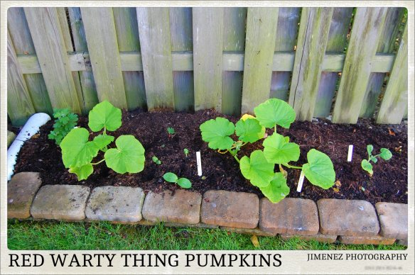 RED WARTY THING PUMPKINS