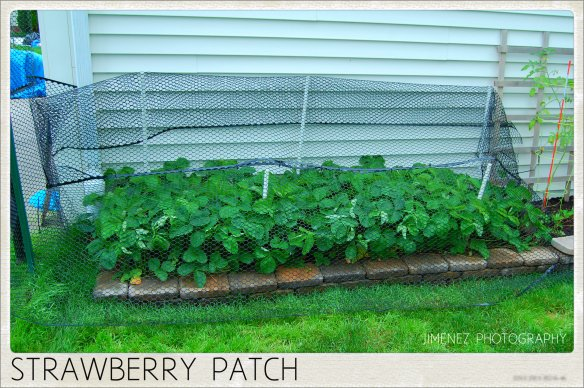 STRAWBERRY PATCH COVERED TO KEEP OUT THE BIRDS