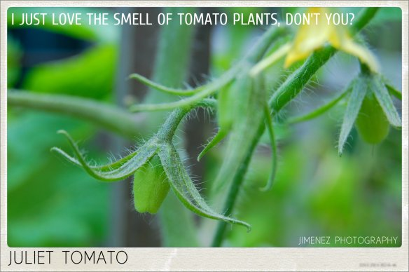 THE SMELL OF TOMATO PLANTS