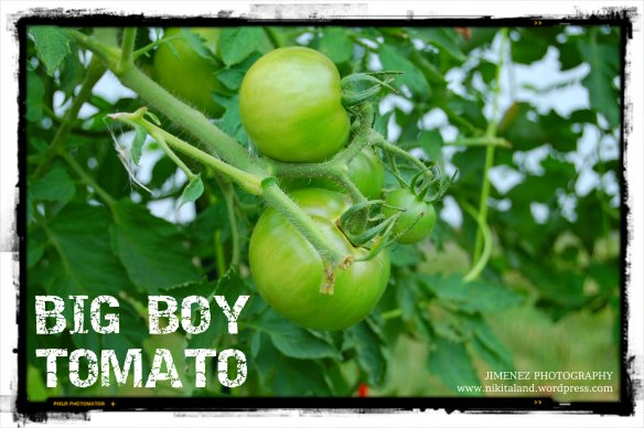 BIG BOY TOMATO 7-29-13