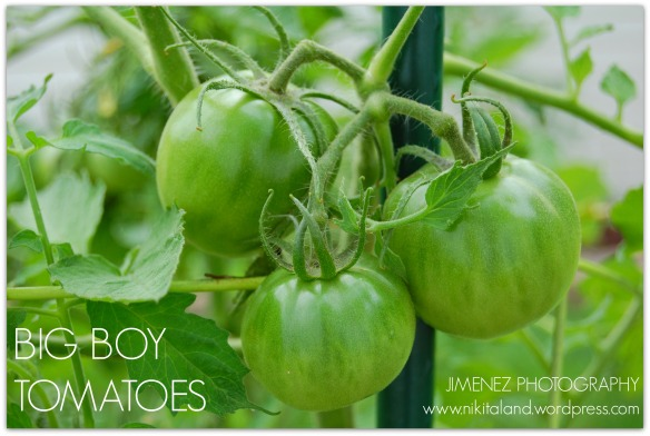 BIG BOY TOMATOES 7-15-13