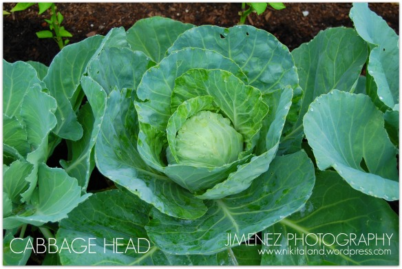 CABBAGE HEAD 7-15-13