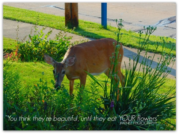 DEER EATING FLOWERS 7-15-13