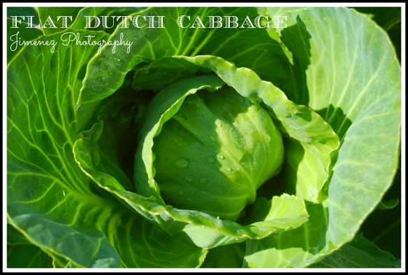 FLAT DUTCH CABBAGE 7-22-13