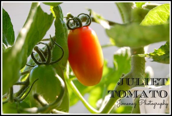 JULIET TOMATO 7-22-13