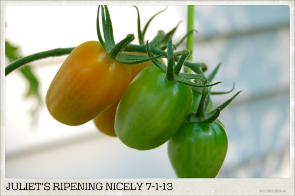 JULIETS RIPENING NICELY 7-1-13
