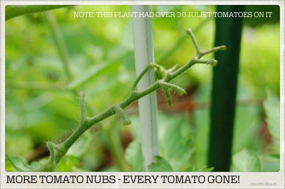 MORE TOMATO NUBS