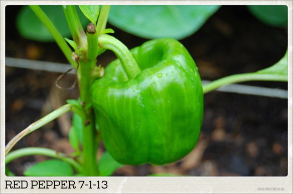 RED PEPPER 7-1-13