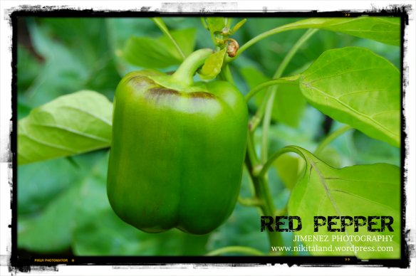 RED PEPPER 7-29-13