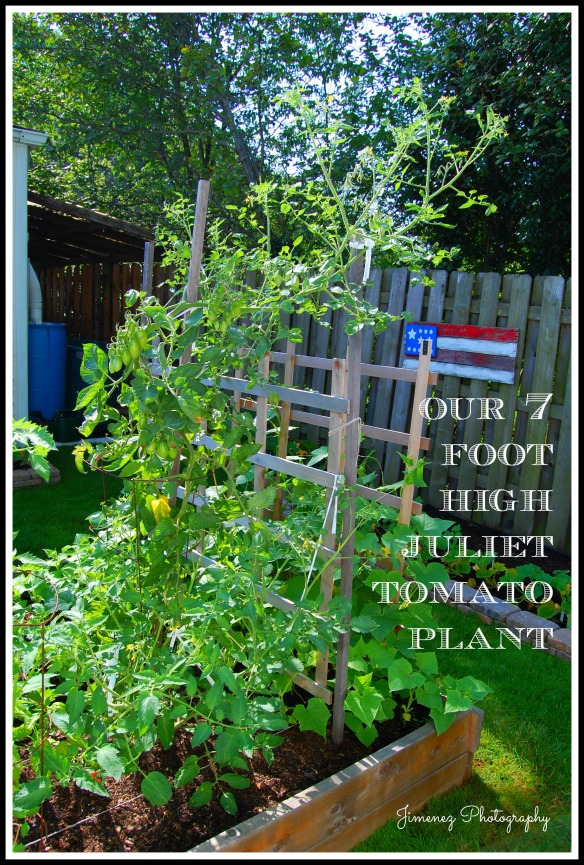 SEVEN FOOT HIGH JULIET TOMATO PLANT 7-22-13