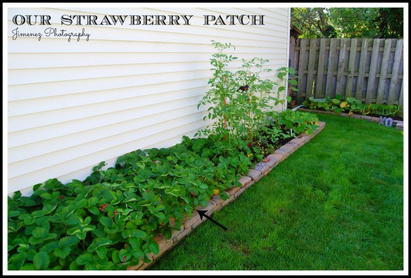 STRAWBERRY PATCH 7-22-13