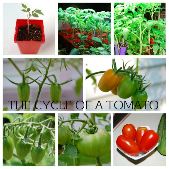 THE CYCLE OF A TOMATO