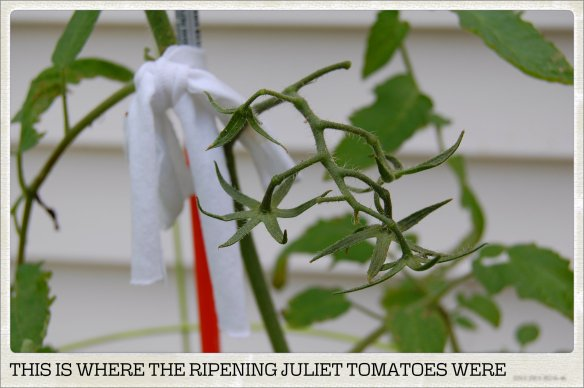 THIS IS WHERE THE RIPENING JULIET TOMATOES WERE