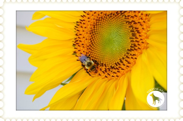 BeFunky_SUNFLOWER AND BEE3a