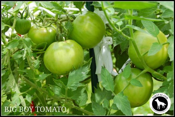 BIG BOY TOMATO 8-5-13