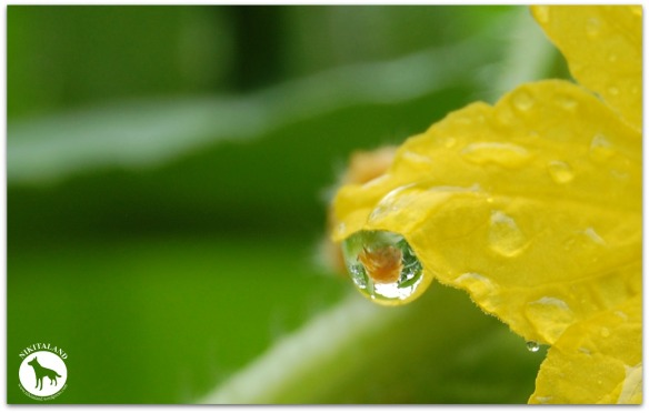 WATER DROP ON A BLOOM