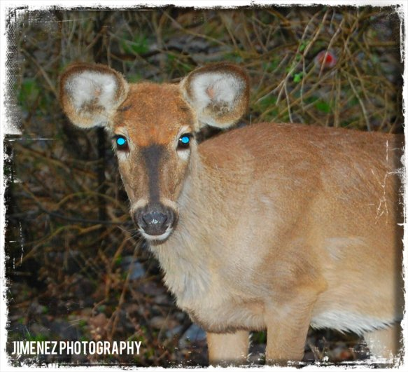 BLUE EYED DEER
