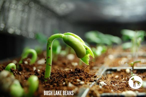 BUSH LAKE BEANS 4-1-14