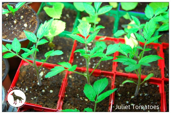 JULIET TOMATOES 4-27-14