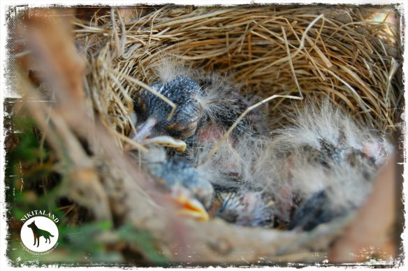 BABY ROBINS1