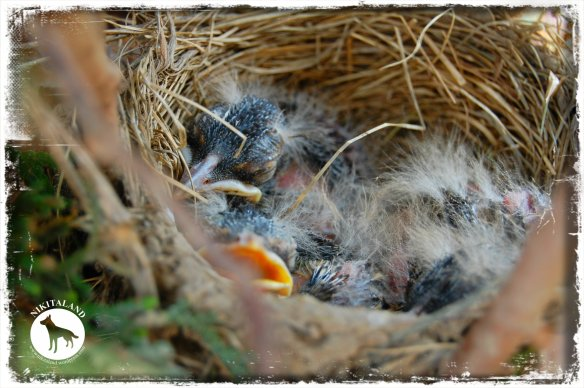 BABY ROBINS2