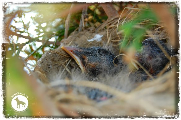 BABY ROBINS3