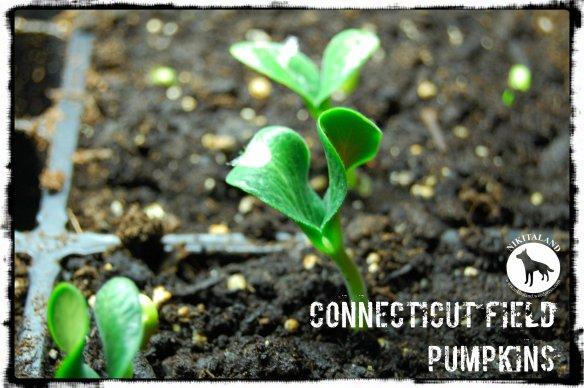 CONNECTICUT FIELD PUMPKINS