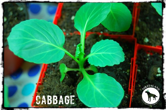 FLAT DUTCH CABBAGE 5-7-14