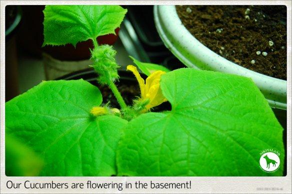FLOWERING CUCS 5-15-14