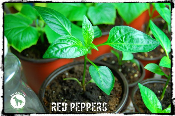 RED PEPPERS 5-7-14