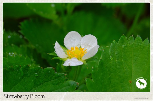 STRAWBERRY BLOOM 5-15-14
