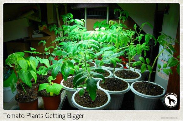 TOMATO PLANTS 5-15-14