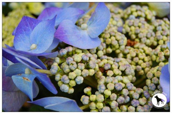 BLUE HYDRANGIA1