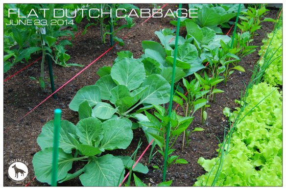 FLAT DUTCH CABBAGE 6-23-14