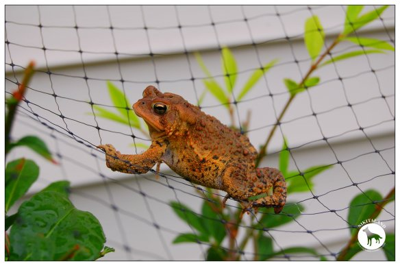 FROGGY ON NETTING