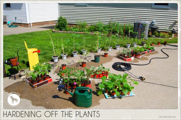 HARDENING OFF THE PLANTS 5-31-14