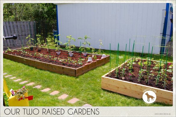 OUR TWO RAISED GARDENS 6-1-14