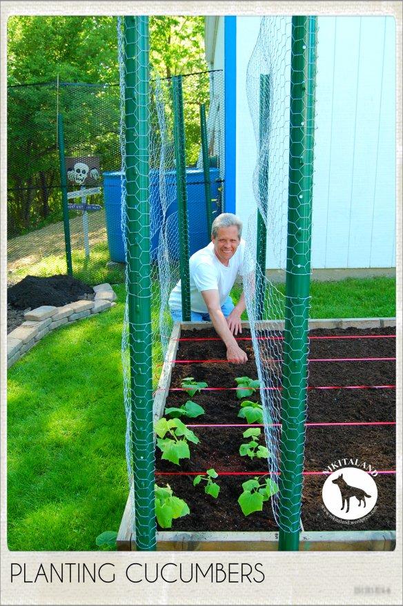 PLANTING CUCUMBERS 5-31-14