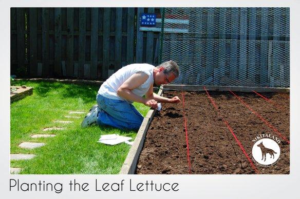 PLANTING LEAF LETTUCE