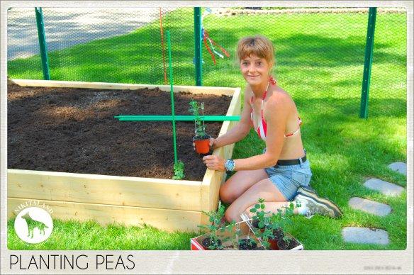 PLANTING PEAS 5-31-14