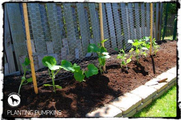 PLANTING PUMPKINS 6-5-14